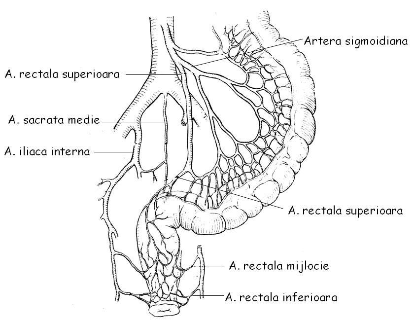 Fein Links A. Iliaca Communis Fotos - Anatomie Von Menschlichen ...